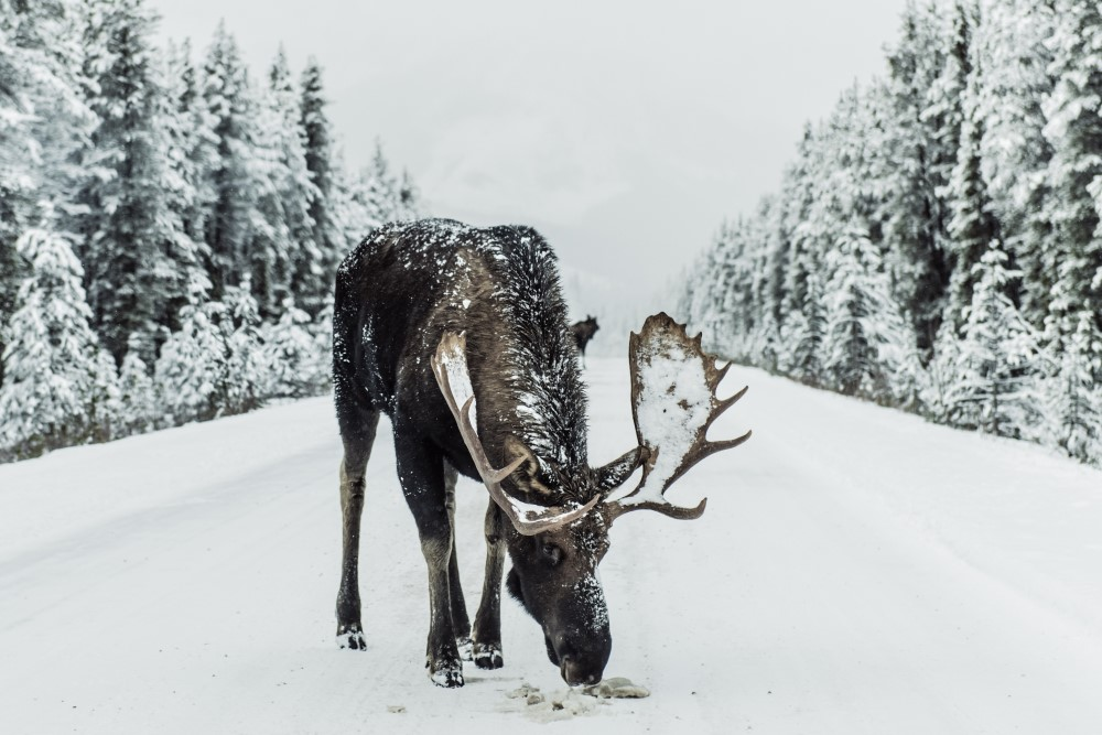 Not the moose I hit